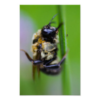 Resting Bee Poster