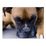 Resting Boxer Dog Postcard