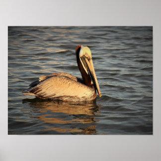 Resting Brown Pelican Poster