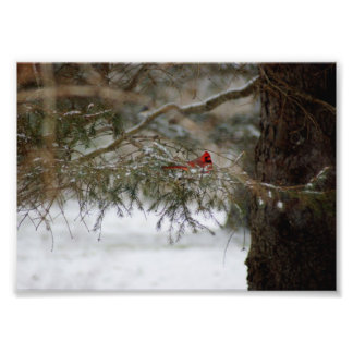 Resting Cardinal 7x5 Photographic Print