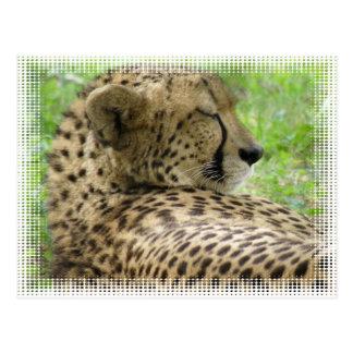 Resting Cheetah Postcard