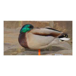 resting duck picture card