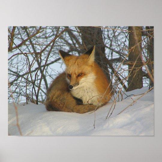 Resting Fox Poster