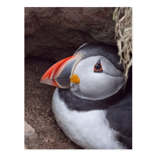 Resting in it's Burrow Puffin Post Card