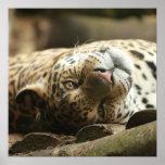 Resting Jaguar Poster