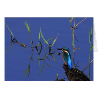 Resting Kingfisher Card