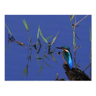 Resting Kingfisher Postcard