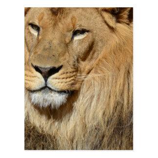 Resting Lion Postcard