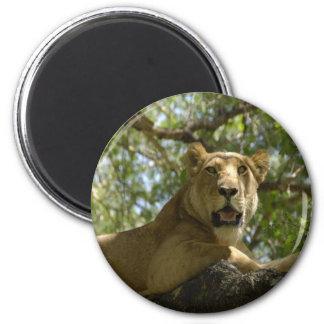 Resting Lioness Refrigerator Magnets