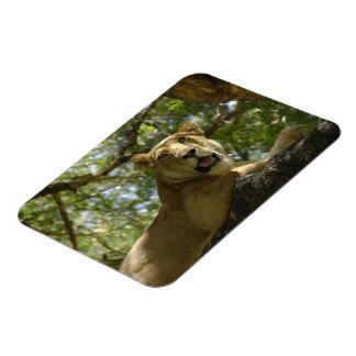 Resting Lioness Rectangular Photo Magnet