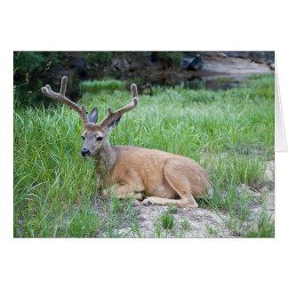 Resting Mule Deer Greeting Card