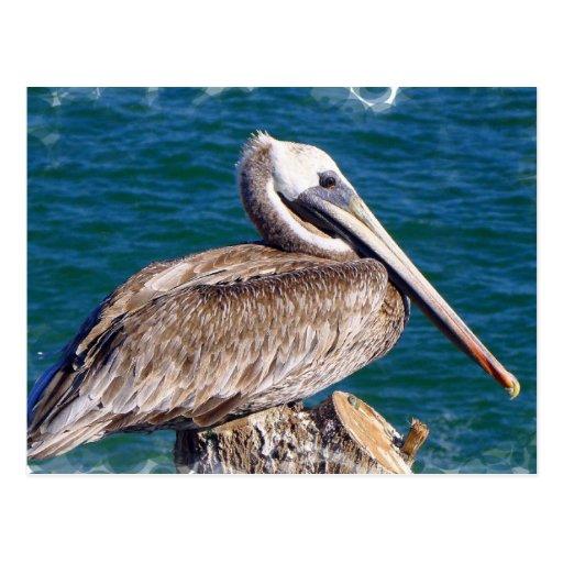 Resting Pelican Postcard