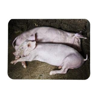 Resting Pigs Rectangular Photo Magnet