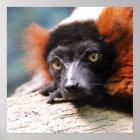 Resting Red Ruffed Lemur Poster