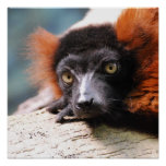 Resting Red Ruffed Lemur Poster