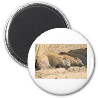 Resting River Hogs 6 Cm Round Magnet