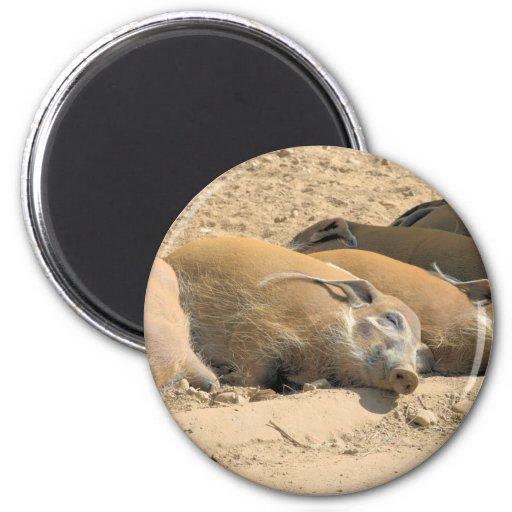 Resting River Hogs Refrigerator Magnet