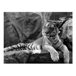 Resting Tiger Postcard