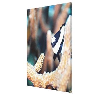 Reticulate dascyllus canvas print