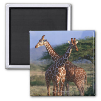 Reticulated Giraffe 2 Square Magnet