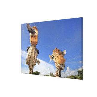 Reticulated Giraffe (Giraffa camelopardalis) 2 Canvas Print