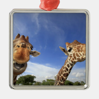 Reticulated Giraffe (Giraffa camelopardalis) Christmas Ornament