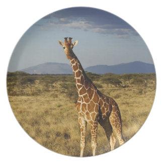 Reticulated Giraffe, Giraffe camelopardalis 2 Plate