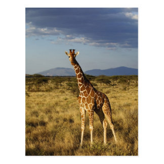 Reticulated Giraffe, Giraffe camelopardalis 2 Postcard