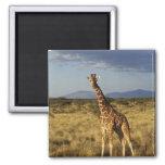 Reticulated Giraffe, Giraffe camelopardalis 2 Square Magnet