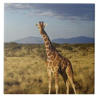 Reticulated Giraffe, Giraffe camelopardalis 2 Tile