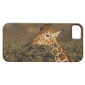 Reticulated Giraffe, Giraffe camelopardalis iPhone 5 Covers