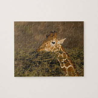 Reticulated Giraffe, Giraffe camelopardalis Jigsaw Puzzle