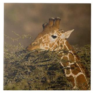 Reticulated Giraffe, Giraffe camelopardalis Tile