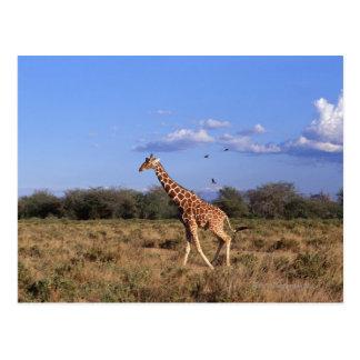 Reticulated Giraffe Postcard