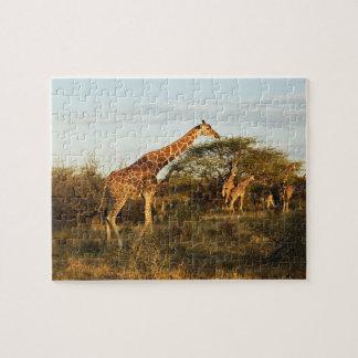 Reticulated Giraffes, Giraffe camelopardalis 2 Jigsaw Puzzle