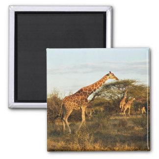 Reticulated Giraffes, Giraffe camelopardalis 2 Magnet