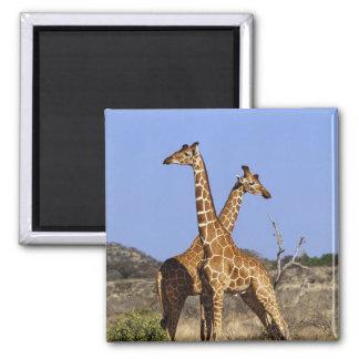 Reticulated Giraffes, Giraffe camelopardalis 3 Magnet