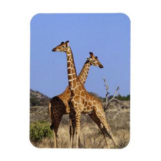 Reticulated Giraffes, Giraffe camelopardalis 3 Rectangular Photo Magnet