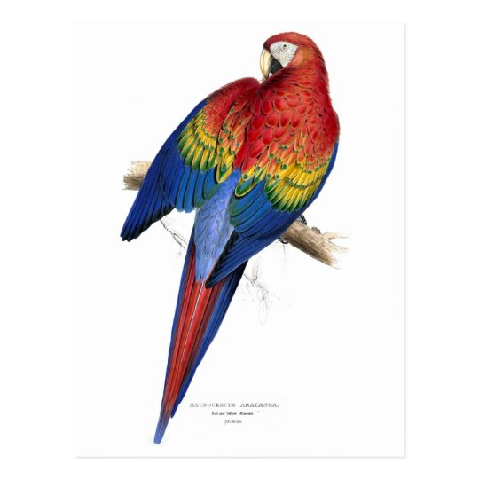 Retro Vintage Kitsch Birds Red And Yellow Macaw Postcard