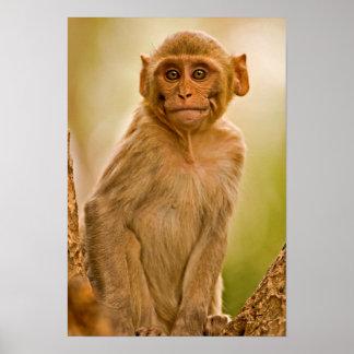 Rhesus Macaque Baby (Macaca Mulatta) In Sariska Poster