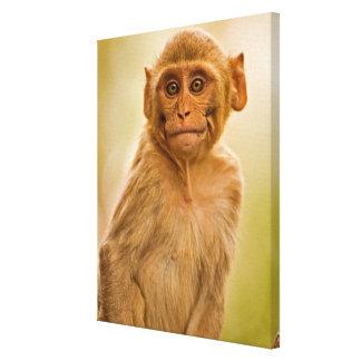 Rhesus Macaque Baby (Macaca Mulatta) In Sariska Stretched Canvas Prints