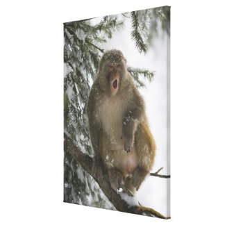 Rhesus Macaque monkey (Macaca mulatta) sitting Canvas Prints