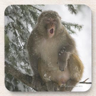Rhesus Macaque monkey Macaca mulatta sitting Beverage Coasters