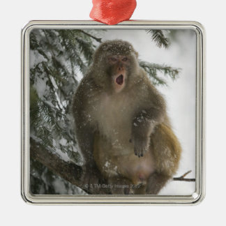 Rhesus Macaque monkey (Macaca mulatta) sitting Christmas Ornaments