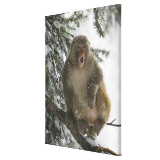 Rhesus Macaque monkey (Macaca mulatta) sitting Gallery Wrap Canvas