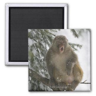 Rhesus Macaque monkey (Macaca mulatta) sitting Magnet