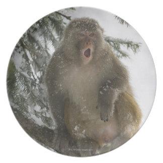 Rhesus Macaque monkey (Macaca mulatta) sitting Plates