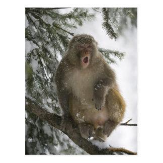 Rhesus Macaque monkey (Macaca mulatta) sitting Postcard
