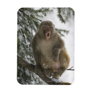 Rhesus Macaque monkey (Macaca mulatta) sitting Rectangular Photo Magnet
