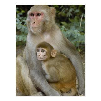 Rhesus Macaques Macaca mulatta) mother & baby Post Card